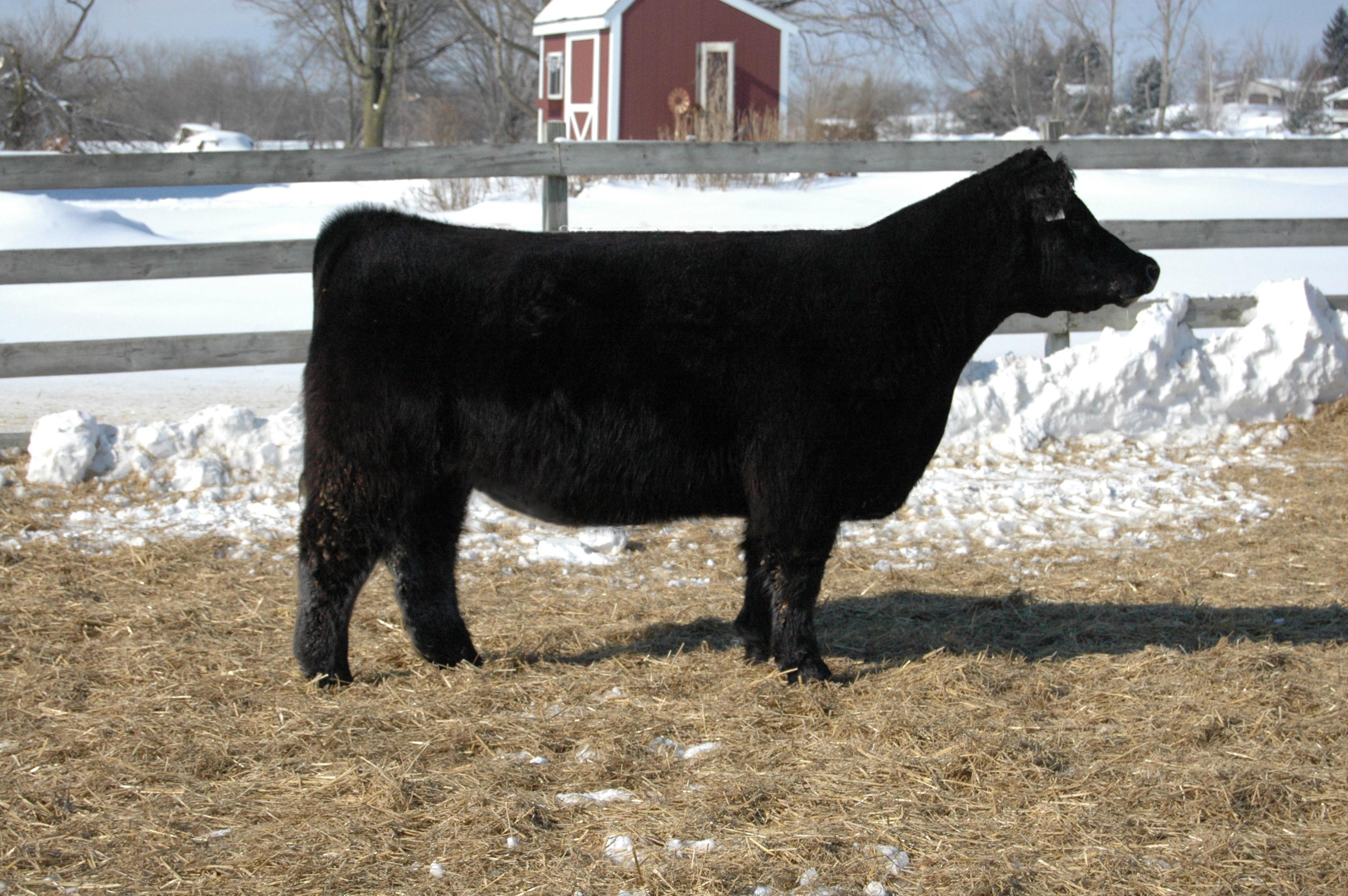 welshans show cattle schneider farms upcoming sales. Black Bedroom Furniture Sets. Home Design Ideas